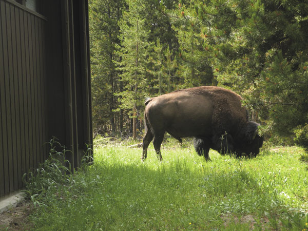 Paula Nicewanger/Weekly View Bison hanging out outside the ladies room.
